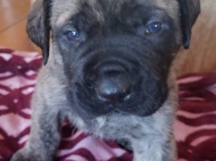 AKC English Mastiff Puppies Brindle males/females available 9/20/19. $1,000 limited