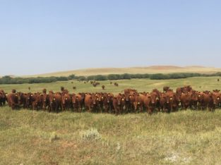 Bred Heifers for Sale: 190 – Fancy Red Angus Bred Heifers