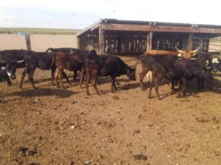 Roping Cattle: 14 – Yearling Corriente Cross Roping Cattle