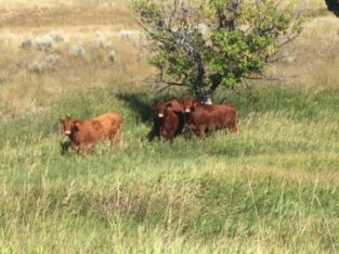 Cows for Sale: 50 – 3 Year Old Red Angus Cows