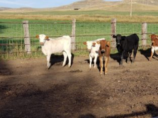 Replacement Heifers for Sale: 11 – Longhorn Heifers