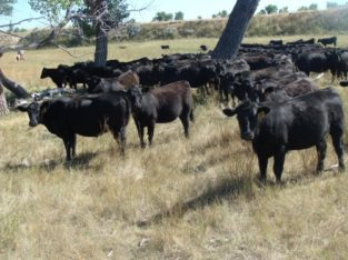 Bred Heifers for Sale: 510 – Angus Bred Heifers
