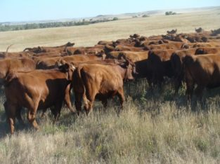 Bred Heifers for Sale: 129 – AI and Bull Bred Heifers