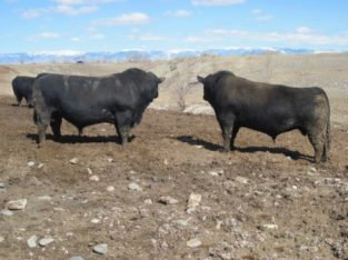 Bulls for sale: 60 – Coming Two Year-Old Registered Black Angus Bulls