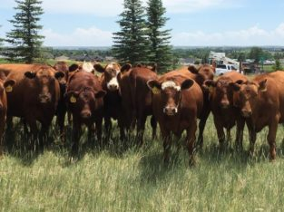 Bred Heifers for Sale: 35 – Fancy Certified Red Angus Bred Heifers