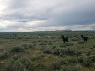 Cows for Sale: 10 – Fall Bred Corriente Cows