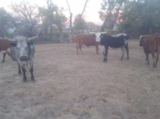 Cows for Sale: 15 – Fall Bred Longhorn Cows