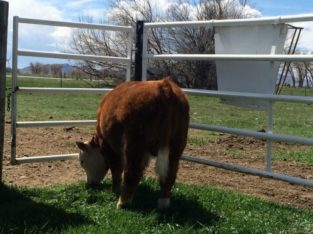 Bulls for sale: 1 – Minature Hereford Bull