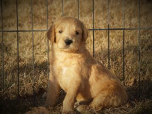 CH line goldendoodle puppies