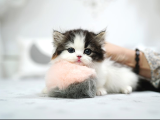 Adorable Scottish Fold MUNCHKIN Kittens for sale