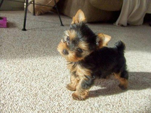 T-Cup Yorkie Puppy For Rehoming