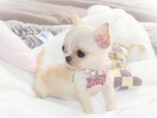 AKC registered Chihuahua puppies from top lineage